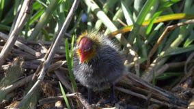 Śliczny dziecko ptak 4k - śmieszny Eurazjatycki coot kurczątko spada - zbiory wideo