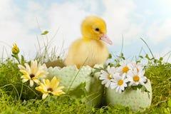 Śliczny Easter kaczątko Zdjęcia Stock