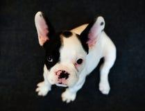 Śliczny francuskiego buldoga szczeniak patrzeje prosto przy tobą obraz royalty free