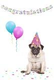 Śliczny gderliwy stawiający czoło mopsa szczeniaka pies z partyjnymi kapeluszu, balonów, confetti i teksta gratulacjami na białym obraz stock