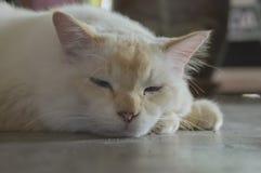 Śliczny gnuśny kot na podłoga Obraz Royalty Free