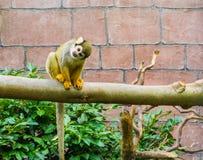 Śliczny i śmieszny pospolity wiewiórczej małpy obsiadanie na gałąź i patrzeć w kierunku kamera uroczego zwierzęcego portreta obrazy stock