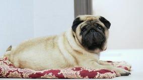 Śliczny i gruby mopsa pies kłama na koc lub poduszka, gnuśny pies spada uśpiony na psim miejscu zbiory
