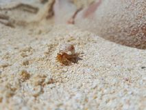 Śliczny i mały Bernard w jego skorupie na piasku Zdjęcie Stock