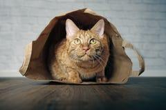 Śliczny imbirowy kota lying on the beach w papierowej torbie i patrzeć ciekawy upwards obrazy royalty free