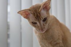 Śliczny imbirowy peterbald domowego kota downd przyglądający zakończenie up Obrazy Royalty Free