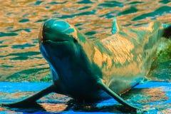 Śliczny Irrawaddy delfin jest spławowy w th (Orcaella brevirostris) zdjęcia stock