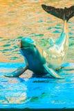 Śliczny Irrawaddy delfin jest spławowy w th (Orcaella brevirostris) zdjęcie royalty free