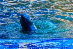 Śliczny Irrawaddy delfin jest spławowy w th (Orcaella brevirostris) zdjęcia royalty free