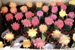 Śliczny kaktusowy kwiat w ogródzie obraz stock