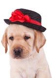 śliczny kierowniczy labradora szczeniaka aporter zdjęcie stock
