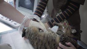 Śliczny kot ma ultradźwięku obraz cyfrowego w weterynarza biurze zamkniętym w górę Zwierz? domowe w weterynaryjnej klinice Lekark zdjęcie wideo