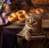 Śliczny kot patrzeje kamerę Traken Brytyjska makrela z kolorów żółtych oczami i sumiastym wąsy z bliska Pussycat, kiciunia Zdjęcia Stock