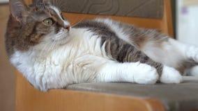Śliczny kot relaksuje na krześle zbiory wideo