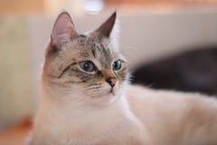 Śliczny kot w żywym pokoju Beżowy kot z niebieskimi oczami urocze zwierzątko zdjęcia royalty free
