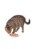 śliczny kota łasowanie zdjęcia royalty free