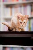 śliczny kota imbir Zdjęcie Royalty Free