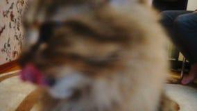 Śliczny kota ` s kaganiec Obwąchuje kamera obiektyw Zwolnionego Tempa bokke zbiory wideo