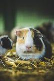 śliczny królik doświadczalny Zdjęcia Stock