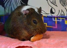 Śliczny królik doświadczalny je mandarynki lobule obraz royalty free