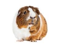 Śliczny królik doświadczalny Na Biały Przyglądający Up Zdjęcia Royalty Free