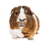 Śliczny królik doświadczalny Patrzeje Naprzód Zdjęcia Stock