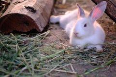 Śliczny królik na trawa trakenie w Asia łasowanie ssak z l Fotografia Royalty Free