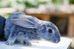 Śliczny królik, puszysty szarości zwierzę domowe miękka ostrość, płytka głębia pole kopii przestrzeń Obrazy Royalty Free