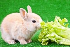 śliczny królika łasowanie jeden Zdjęcia Royalty Free