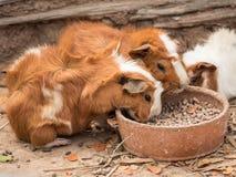 Śliczny królika doświadczalnego karmienie Fotografia Royalty Free