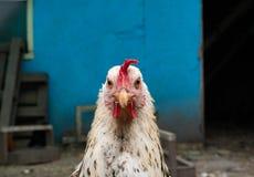 Śliczny kurczak gapi się przy tobą z oba oczami zdjęcie stock