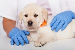Śliczny labradora szczeniak trzymający weterynaryjnej opieki zdrowotnej fachowymi rękami - zamyka w górę fotografia royalty free