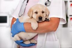 Śliczny labradora szczeniaka pies siedzi confortably w rękach weterynaryjny opieka zdrowotna profesjonalista zdjęcia stock