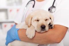 Śliczny labradora szczeniaka pies uśpiony w rękach weterynaryjny opieka zdrowotna profesjonalista zdjęcie stock