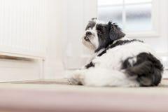 Śliczny Lhaso Apso pies obok dzwi wejściowy czekania dla właściciela obrazy stock