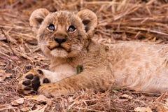 Śliczny lwa lisiątka przyglądający up Zdjęcia Stock