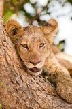 Śliczny lwa lisiątko Zdjęcia Royalty Free