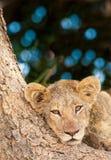 Śliczny lwa lisiątko Obraz Royalty Free