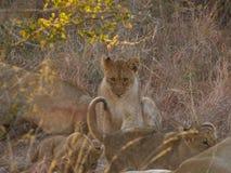 Śliczny lwa lisiątko patrzeje nieśmiało fotografia royalty free
