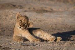 Śliczny lwa lisiątko trząść swój głowę Zdjęcie Royalty Free