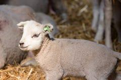 Śliczny mały baranek w sheepfold zdjęcia royalty free