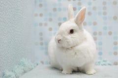 Śliczny mały biały królik w domu Zdjęcie Royalty Free