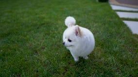 Śliczny mały biały pomeranian spitz odprowadzenie na trawie zdjęcie wideo