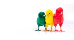 śliczny Mały Czerwony kurczak, żółty kurczak i zieleń kurczak, Chicke Zdjęcia Stock
