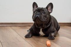 Śliczny mały francuski buldoga szczeniak zdjęcie royalty free