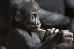 Śliczny mały goryla dziecko bawić się z kijem zdjęcie stock