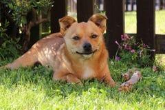 Śliczny mały jackaranian psi ono uśmiecha się Obrazy Stock