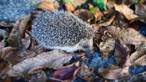 Śliczny Mały jeża gmeranie dla jedzenia w jesień liściach fotografia royalty free