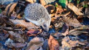 Śliczny Mały jeża gmeranie dla jedzenia w jesień liściach obrazy royalty free