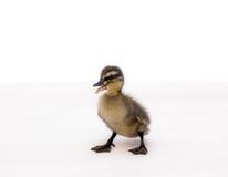 Śliczny mały kaczątko Zdjęcia Stock